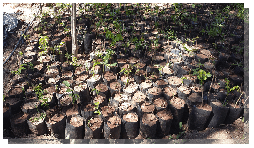 HAF PLANTS THIS SEASON 120,000 FRUIT SEEDS AND SAPLINGS AND COUNTING